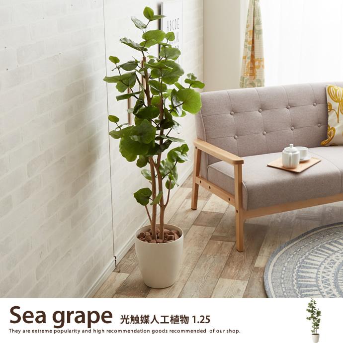 観葉植物シーグレープ1.25